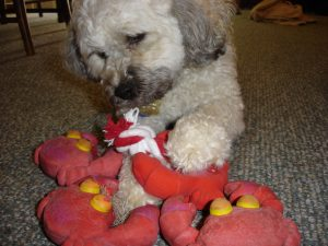 Moby and his toy crabs